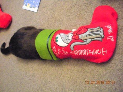 Sully Christmas Stocking & yes she crawled into it!